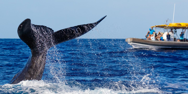 Bei Whale-Watching Reisen fahren Sie mit dem Boot nah genug heran und sehen die Wale hautnah.