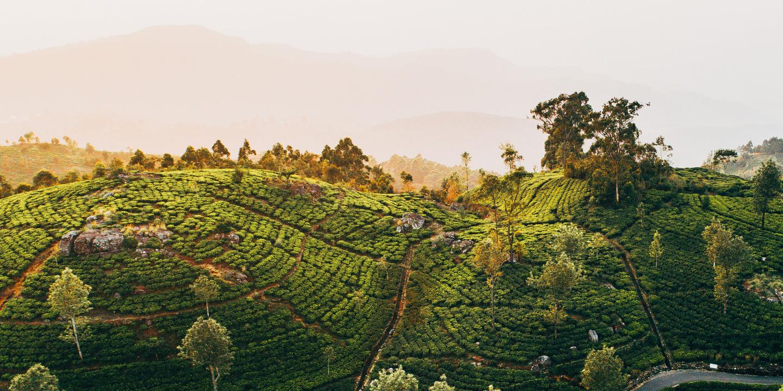 Teeplantagen in Sri Lanka bei Sonnenaufgang.