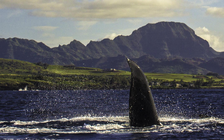 Ein Buckelwal vor der Küste Kauais beim Whale Watching auf Hawaii.
