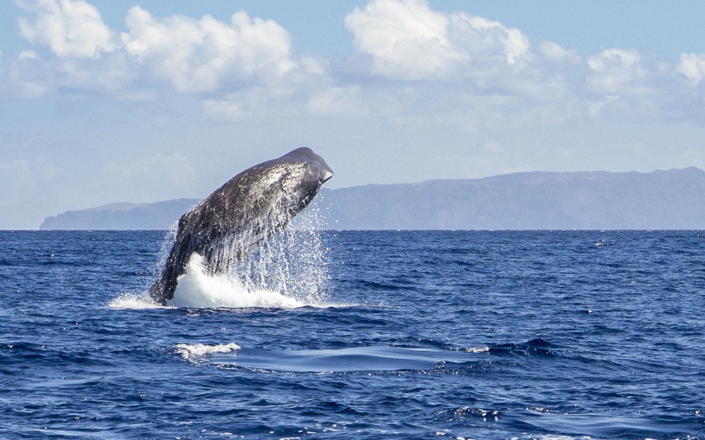 Ein Pottwal wird beim Whale Watching im Atlantik vor Madeira in Portugal beobachtet.