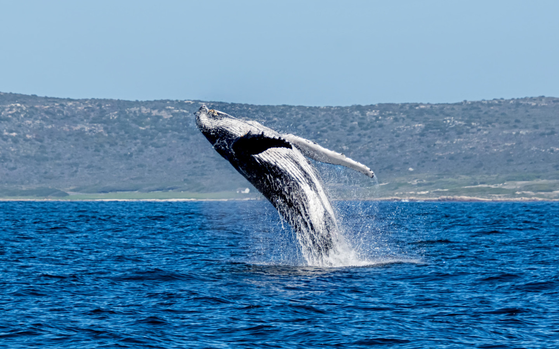 Ein Wal in Hermanus in Südafrika.