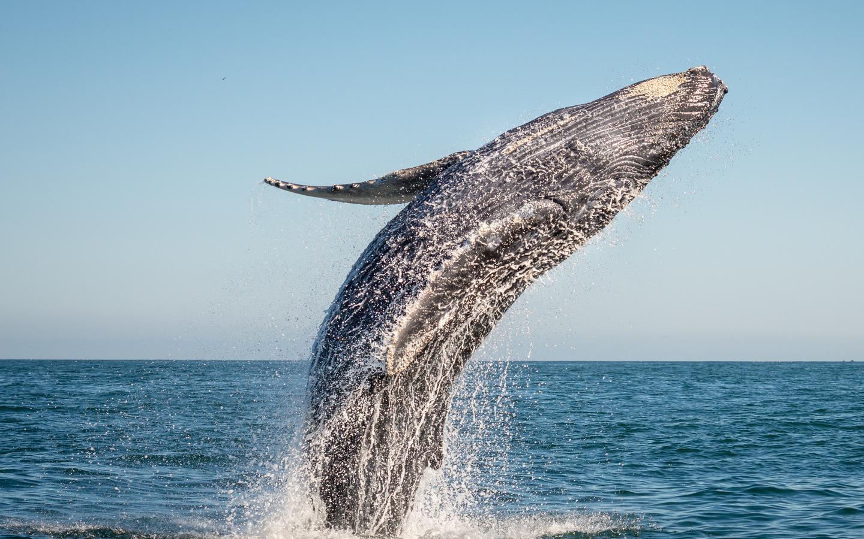 Ein riesiger Wal springt aus dem Wasser beim Whale Watching.
