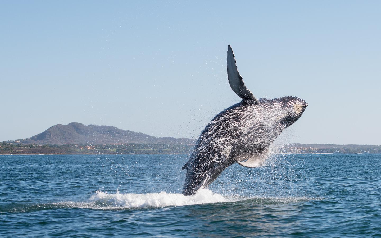 Ein Wal springt im offenen Meer aus dem Wasser beim Whale Watching.