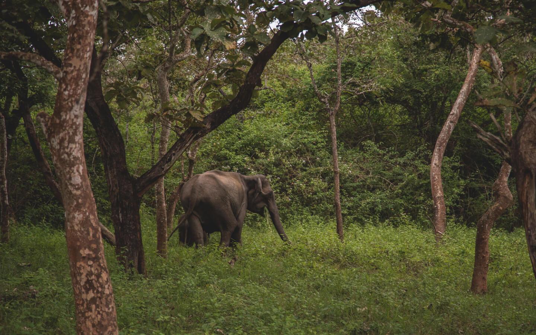 Ein Elefant im Bandipur Nationalpark.