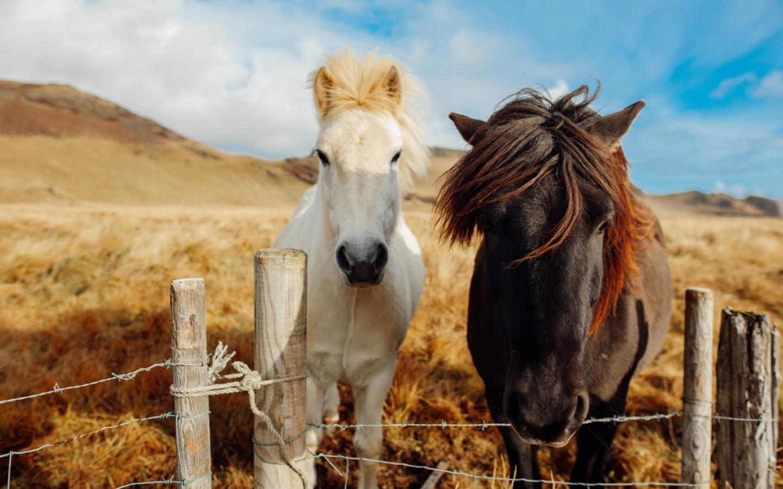 Die bekannten Islandpferde gehören zu unseren 20 Fakten über Island.