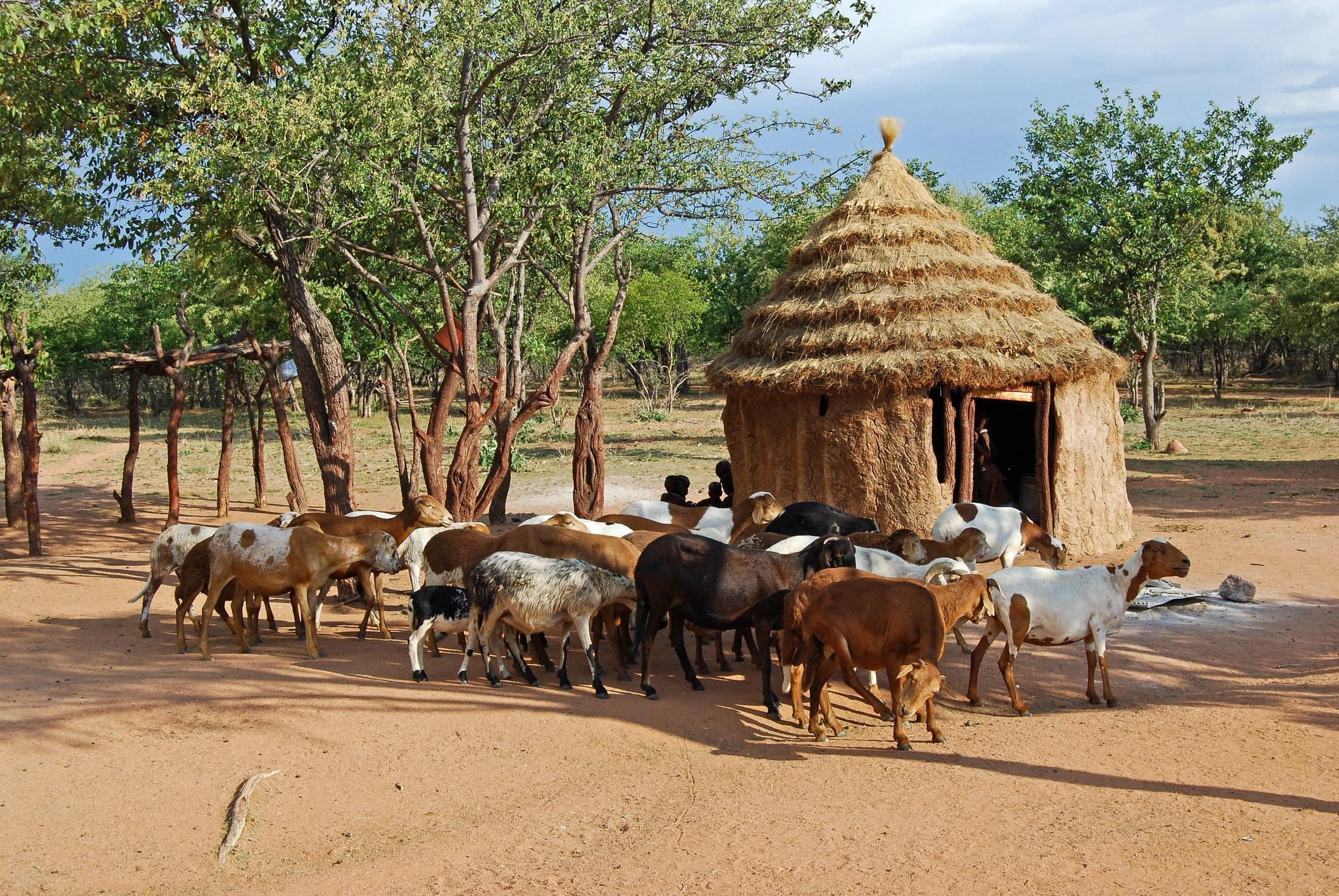 Tiere in einer Siedlung der Himba in Namibia.
