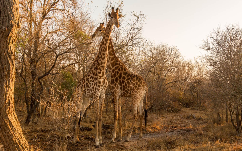 Zwei imposante Giraffen in Südafrika.