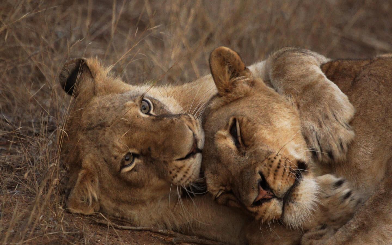 Löwinnen im Krüger Nationalpark in Südafrika.