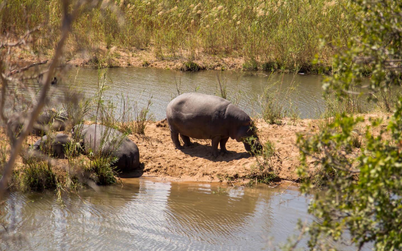 Nilpferde auf einer Safari in Südafrika.