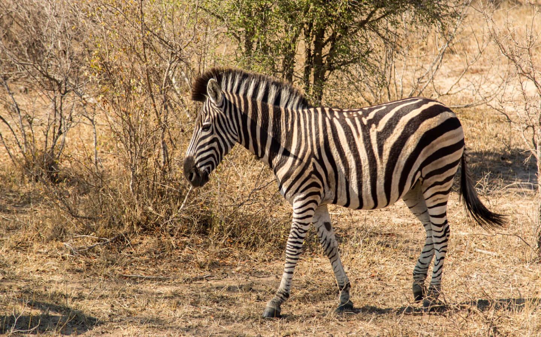 Ein Zebra auf einer Safari in Südafrika.