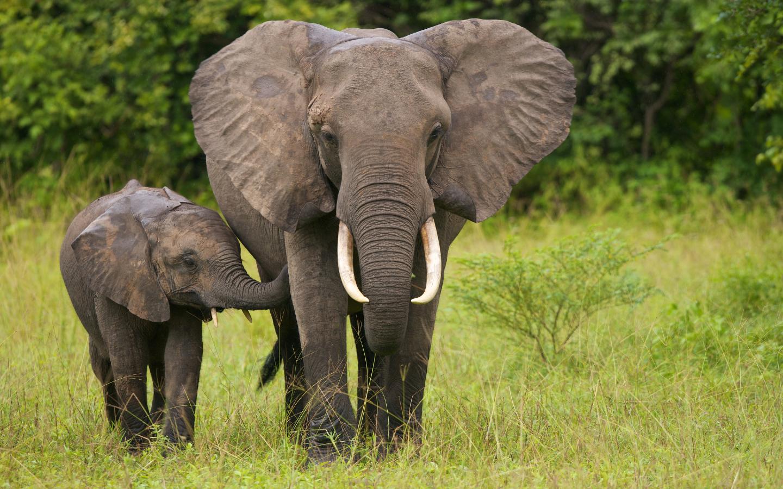 Elefanten sind durch Wilderei vom Aussterben bedroht.