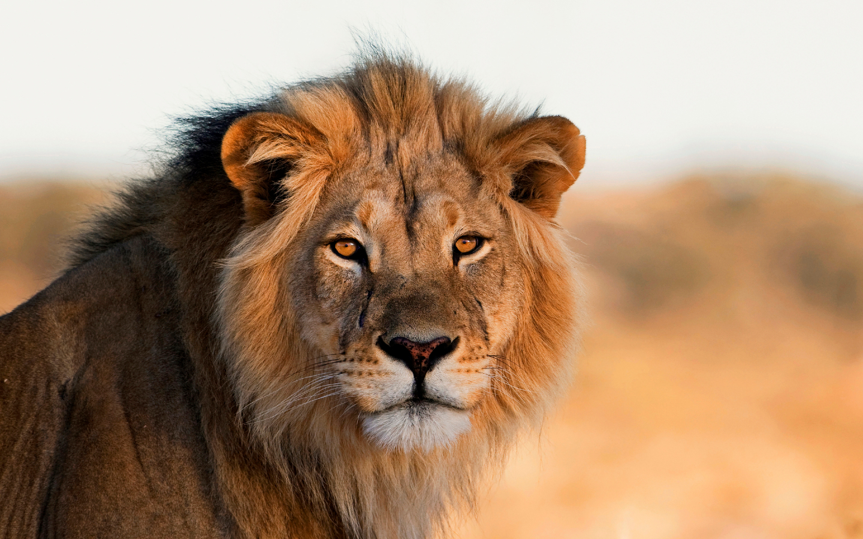 Der Löwe ist ein vom Aussterben bedrohtes Tier.