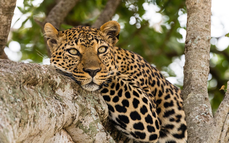 Der Leopard gehört zu den vom Aussterben bedrohten Tierarten.