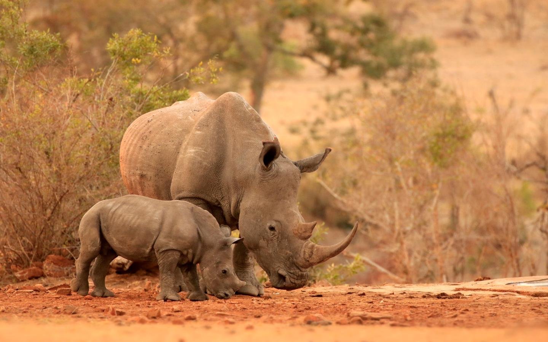 Nashörner gehören zu den vom Aussterben bedrohten Tieren.