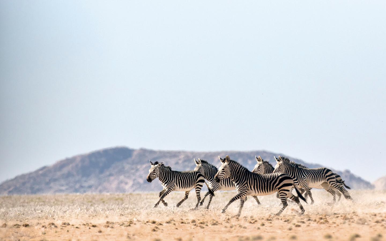 Zebras im nachhaltigen Reiseziel Botswana.