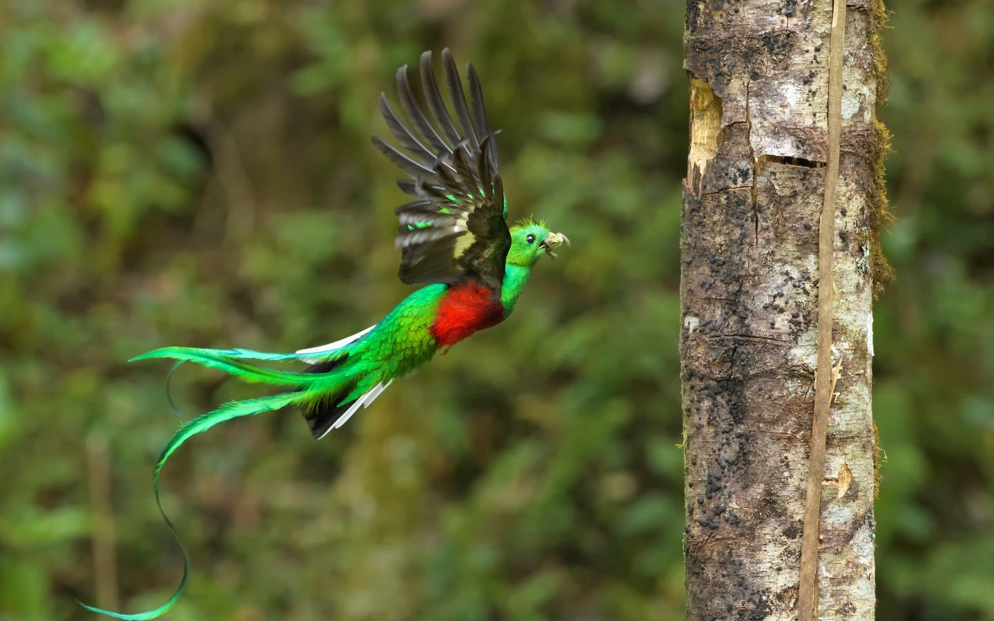 Der Quetzal Vogel in Costa Rica.