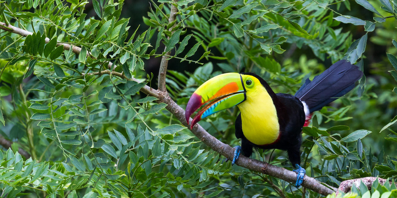 Der für Costa Rica typische Tukan.