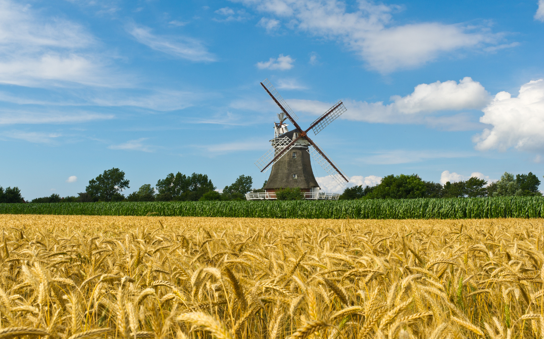 Ein Weizenfeld mit einer Mühle auf der norddeutschen Insel Föhr.