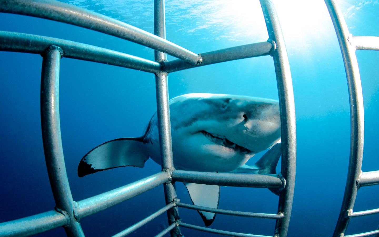 Ein Weißer Hai während dem Haitauchen im Käfig in Südafrika.