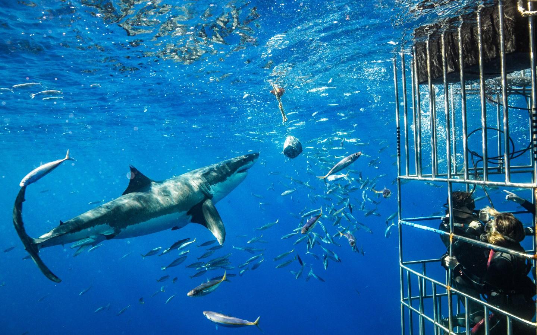 Ein Weißer Hai vor Tauchern in einem Käfig in Südafrika.