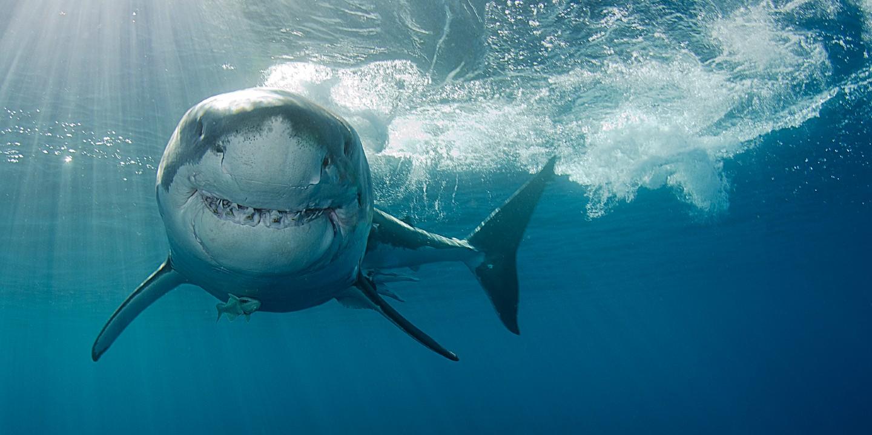 Ein weißer Hai beim Haitauchen in Südafrika.