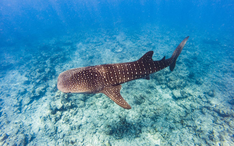 Ein Walhai auf den Malediven.
