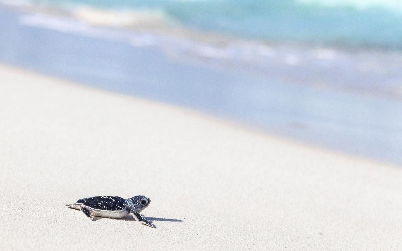 Eine Schildkröte am Strand - mit einem Urlaub in 2021 können Sie Naturschutzprojekte unterstützen.