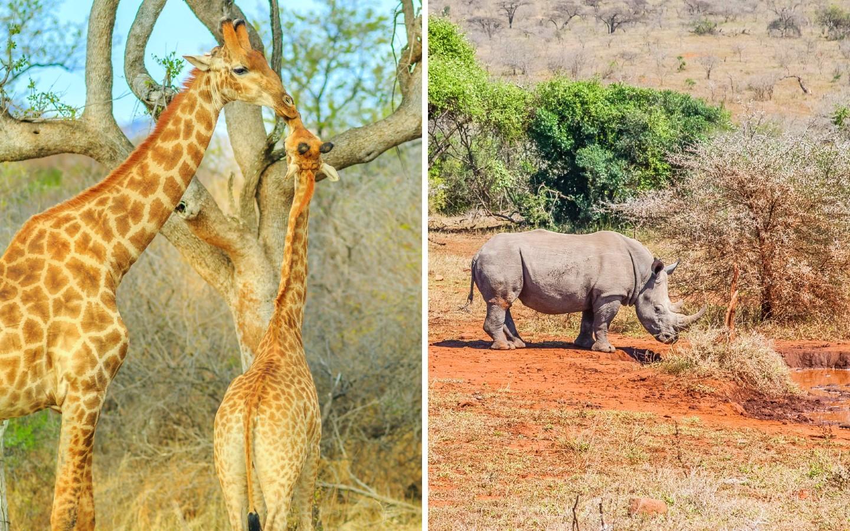 Giraffen und ein Nashorn im Madikwe Game Reserve in Südafrika.