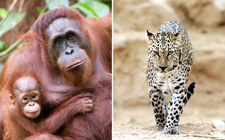 Orang-Utans und ein Leopard.