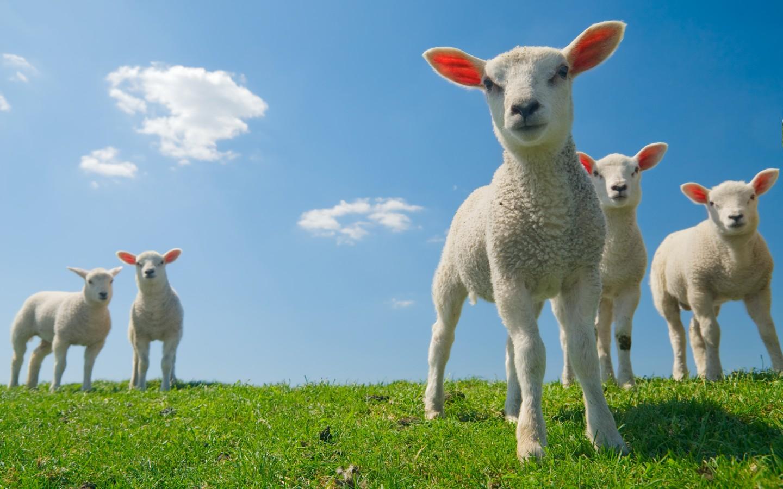 Schafe auf einer Wiese in Irland.