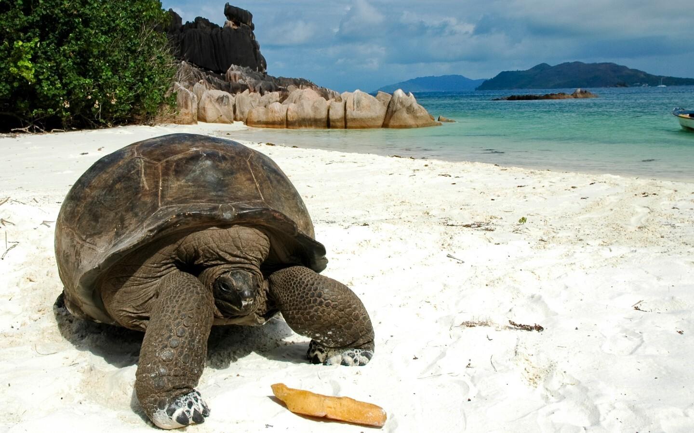 Eine Riesenschildkröte am Strand auf den Seychellen.