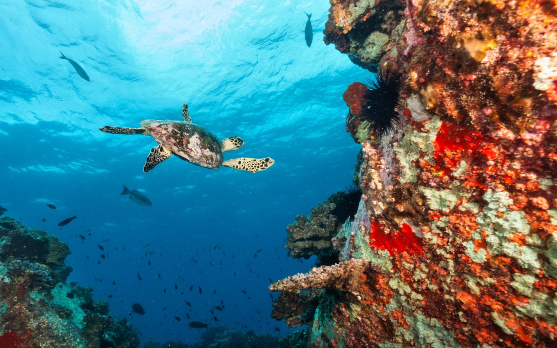 Eine Schildkröte beim Tauchen auf den Seychellen.