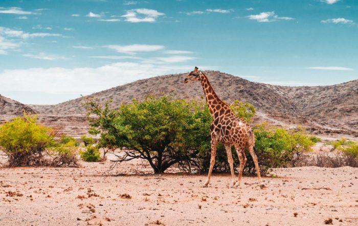 Während eines Familienurlaubs in Namibia mit Kindern können Sie auch Giraffen beobachten.