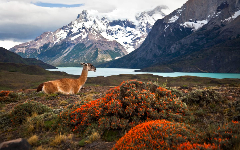 Guanako in Chiles Nationalpark Torres del Paine während einer Kombireise durch Chile und Argentinien.