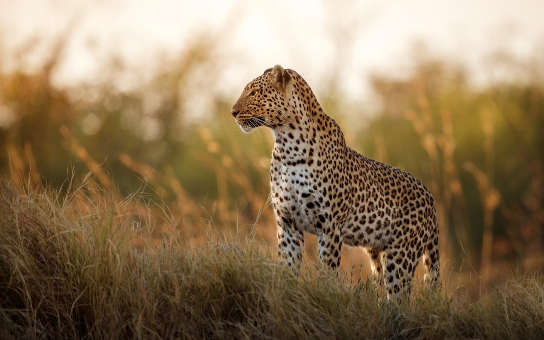Ein Leopard in der Savanne Botswanas während einer Kombireise durch Simbabwe und Botswana.